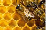 abeille-qui-butine